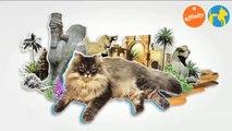 Elige tu raza - Gato Persa - Más que perros y gatos 12