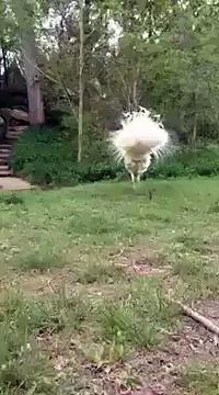 White Ostrich