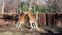 Kangaroo Boxing: Kangaroo Kickboxing: Animal Fights: Kangaroos Fighting: Animals Fighting