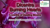 Dicentra Burning Hearts-Dazzling new shade perennial!