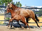 rubia xix  caballo pre Yeguada Nieto andalusian horse