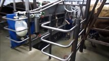 My Wife Milking Cows In The New Milking Parlor