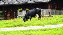 """""""Insari Kia"""" - Tiroler Dialekt Doku über Kühe und Rinder, Dokumentation von Robert Höck, Tiere Natur"""