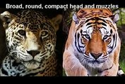 Tiger and lions bite force. Tigers bite force is about twice that of a lion. Lions have weak narrow jaws.