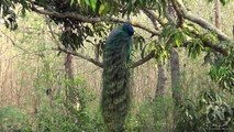 Wild Peacock Preening