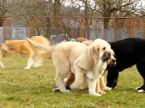 Puppies of mastin espanol/spanish mastiff