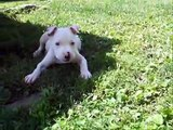 """White Amstaff """"Pitbull"""" puppy 8 weeks to 1 years old"""