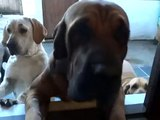 Canil Dourados do Sol - Família e os cachorros... Setembro de 2014