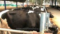 Jalandhar Punjab India ( Murrah Buffalo ) (( AmarRash Gillson's