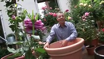 Rosier en pot : planter un rosier sur son balcon