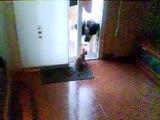 Perro San Bernardo jugando con gato callejero