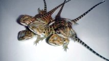 Baby Bearded Dragons For Sale! $100-150 ea. (Hypo Trans, Hypos, Trans, and Double Hets)!!!