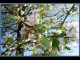 """Yvette Giraud """" cerisiers roses et pommiers blancs """" 1950"""