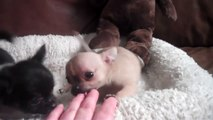 Teacup Chihuahua Sale - video dailymotion