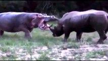 rinoceronte vs hipopótamo