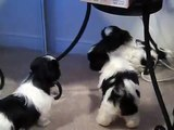shih tzu puppies barking and playing..
