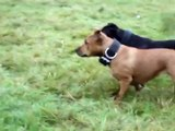 lure racing staffordshire bull terriers staffy staffie