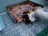 Cute, sweet & very loving 1 month old maltese puppies!