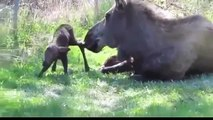 Moose mom gives birth to twins! ☆ animals give birth