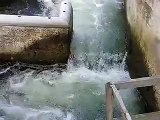 Salmon jumping up the Fish Ladder