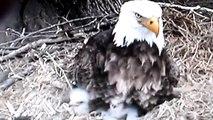 Decorah, Iowa (USA) Eagles - Dad teaching Eaglets to Be Aware