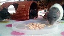 3 Adorable Rats Eating Oats