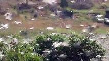 Malagasy Migratory Locust swarm, April 2013 :: Essaim de Criquet Migrateur Malgache, avril 2013