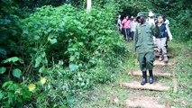 Mountain gorilla Mubare group Bwindi impenetrable forest, Uganda