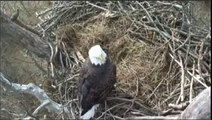 NCTC Bald Eagle Nest - Jan 13 2013 - Smitty protects his nest while Belle is perched overhead