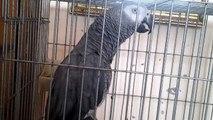 Perroquet gris du gabon 06.06.2015