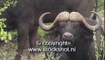 kaapse buffel - cape buffalo - syncerus caffer