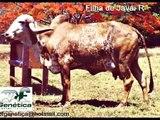 Touros R Gir Gyr / Bull Ganadero farm insemination beef Gir