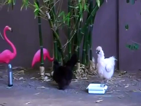 2 Silkie Chickens & 1 Polish Chicken