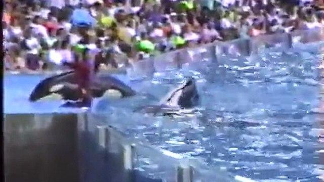 Baby Shamu at Seaworld Orlando 1990 Video. Gudrun, Taima, Katerina, Katina & Kanduke