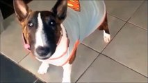 Parodie BIOMAN les Inconnus humour BIOUMAN HELINA Bull Terrier miniature