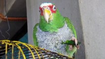 Mexican Parrot Eating Hot Chili Peppers