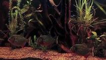 Vergesellschaftung  des Roten Piranhas - Socialization of the Red Bellied Piranha