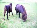 LES PONEYS DE SOPHIE. Poney-club: poneys, poulains, chevaux.