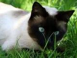 O maravilhoso Gato-Siamês. Siamese cat. Siamese Kittens.