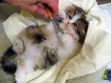 Grooming Sequoia - adorable Persian kitten - 11.30.09