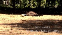 DESCHAMPS - Birth and First Steps of a Foal