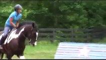 Horses Percheron/TB Cross, Second Jumping Training Lesson (Cookie Bros)