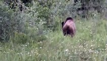 Terrace, BC Grizzly Bear
