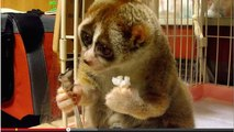 Slow Loris eats rice ball and banana