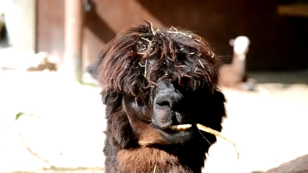 Alpaca goes ooooom-nom-nom-nom