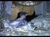 common swift - apus apus - dinner time