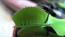 Predazione di una pianta carnivora - Predation of a Carnivorous Plant