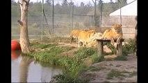 Tigres et Musée du Cirque et de l'Illusion
