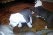 PITBULL POCKET PITS PUPPYS 3.5 WEEKS OLD 4 SALE