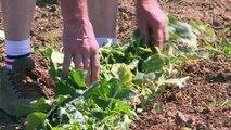 Le dernier producteur français de cornichons lutte pour survivre